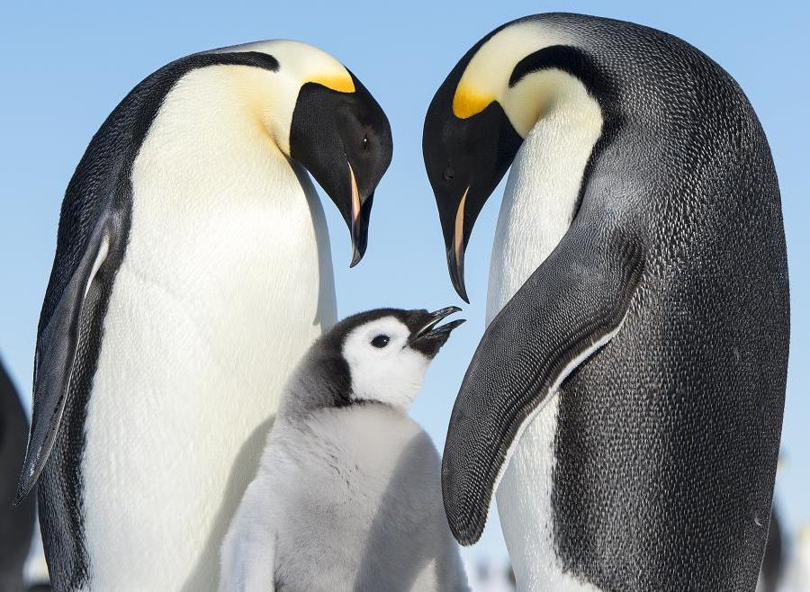 I pinguini sono esperti di conciliazione e condivisione dei ruoli